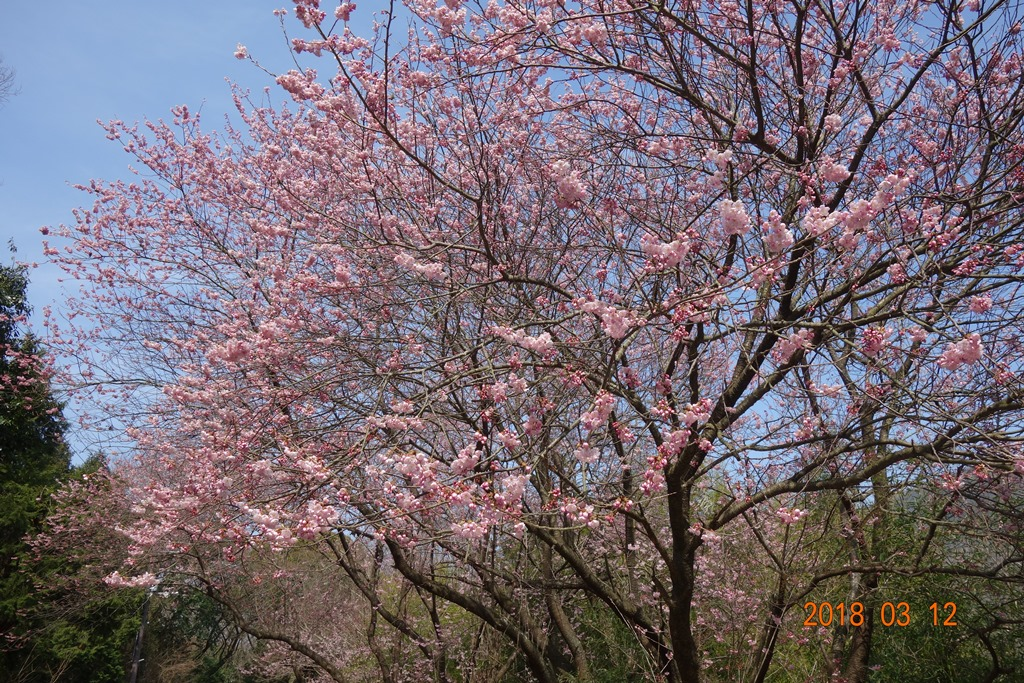 青海神社の緋寒桜